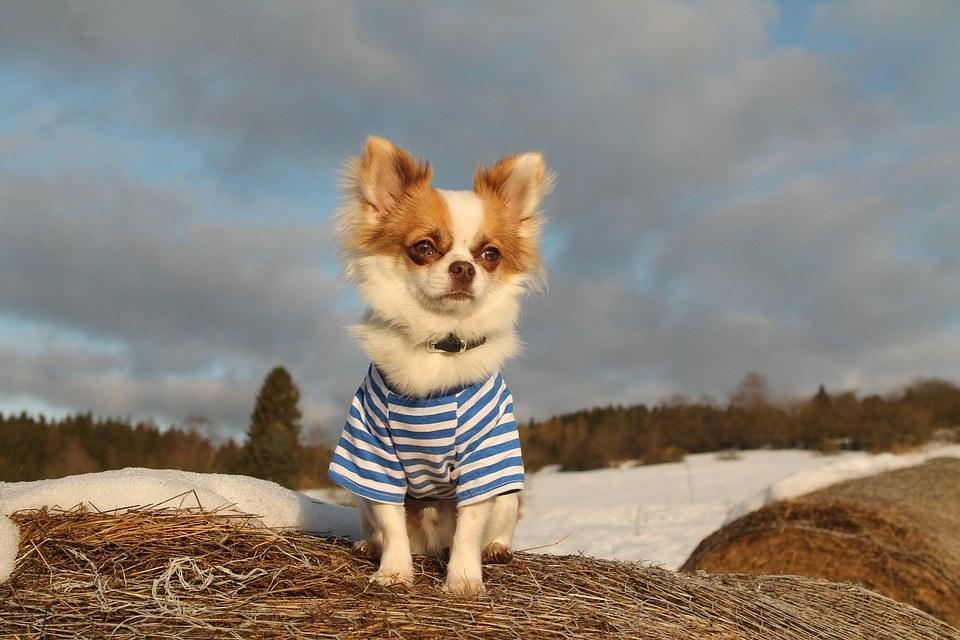 chihuahua con camiseta manga corta rallas