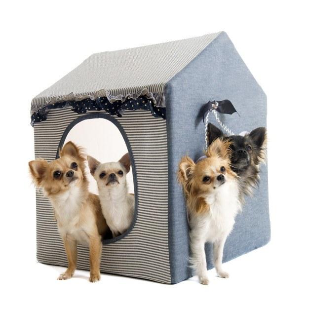 chihuahuas en la caseta