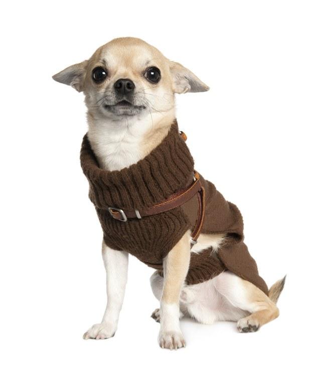 chihuahua jersey marron de cuello alto
