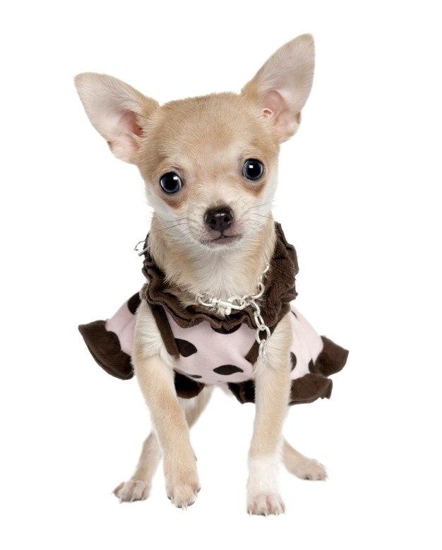 chihuahua con vestido de lunares