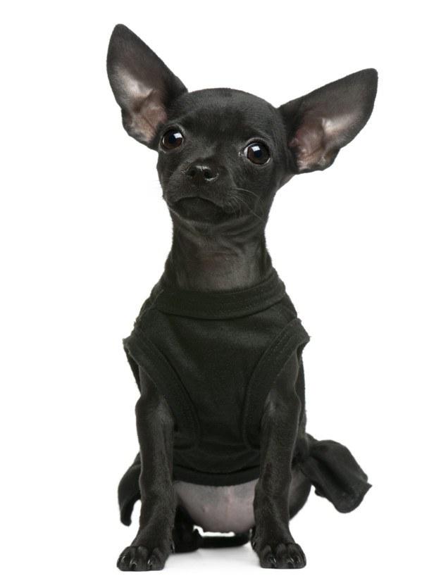 chihuahua con camiseta basica negra tirantes