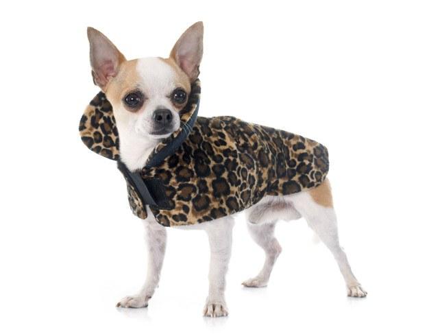 chihuahua con abrigo leopardo
