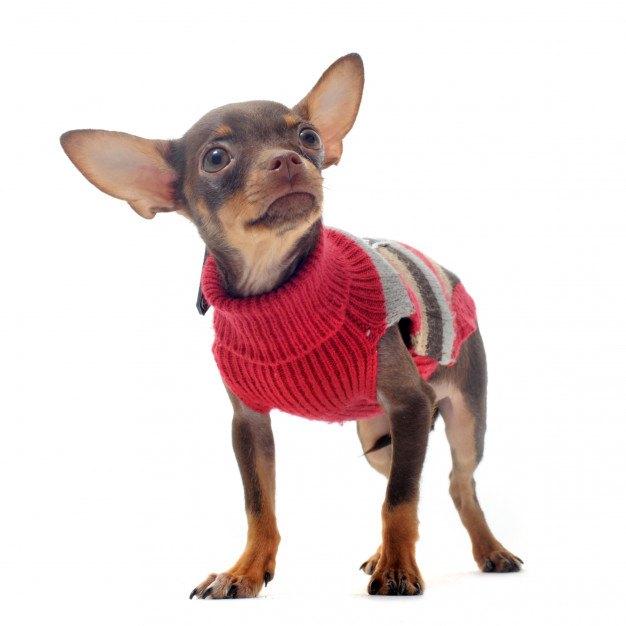 chihuahua con jersey rojo de cuello alto
