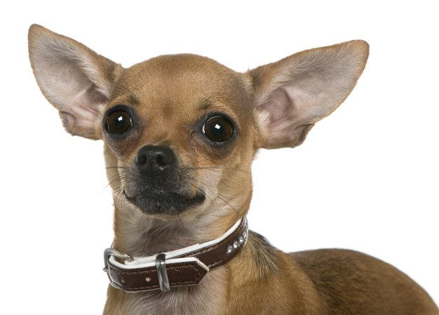 chihuahua con collar marron