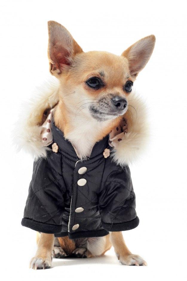 chihuahua abrigo capucha pelo