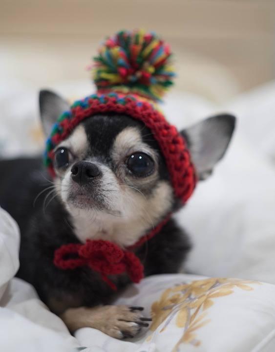 chihuahua con gorro lana