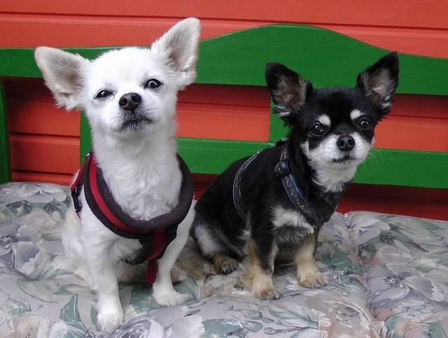 Chihuahua gemelos