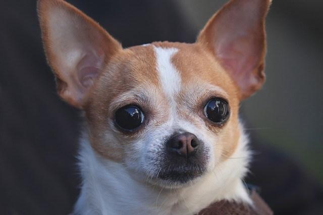 Chihuahua problemas articulaciones